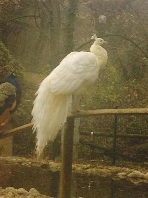 el pavo real blanco del parque